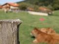 vacas_asturianas_de_los_valles_en_venta