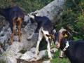 Venta de cabras y cabritos en Durangaldea