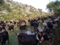 Venta de cabras y cabritos en el Duranguesado