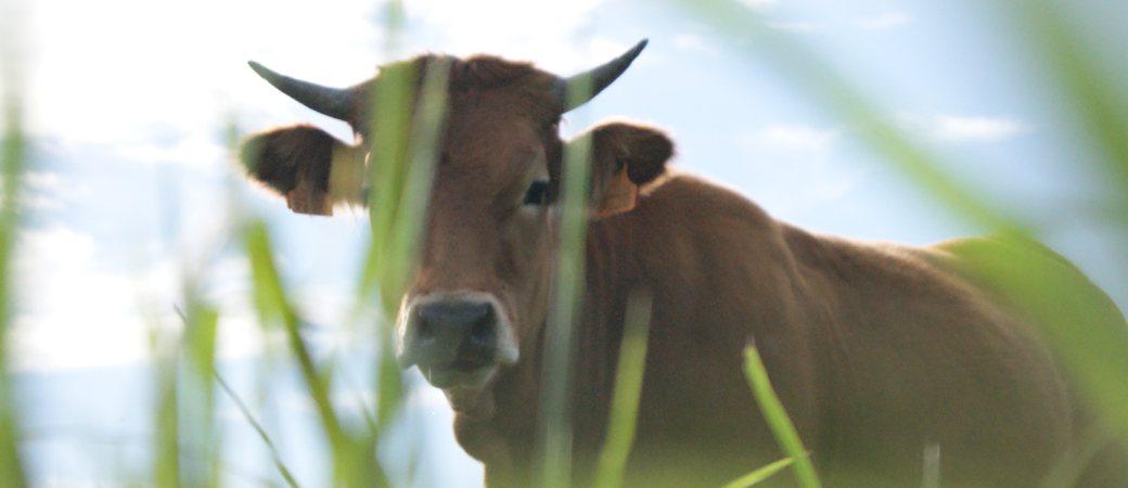 Venta carne de ternera natural sin transgénicos en Duranguesado y Bizkaia