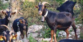 Venta de cabras y cabritos Azpigorri en temporada thumbnail