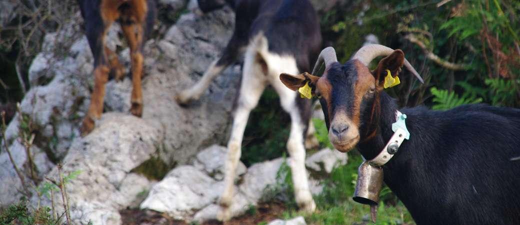 Venta de cabras y cabritos Azpigorri en Vizcaya